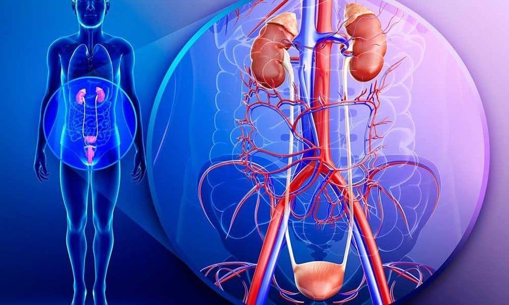 Петрушка при заболеваниях мочеполовой системы