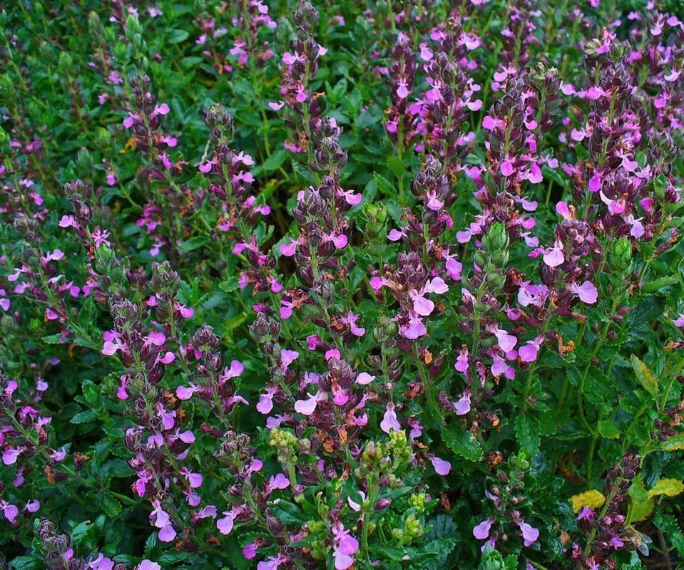 Способы применения травы дубровника для усиления потенции