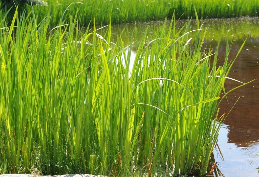 Аир болотный для потенции