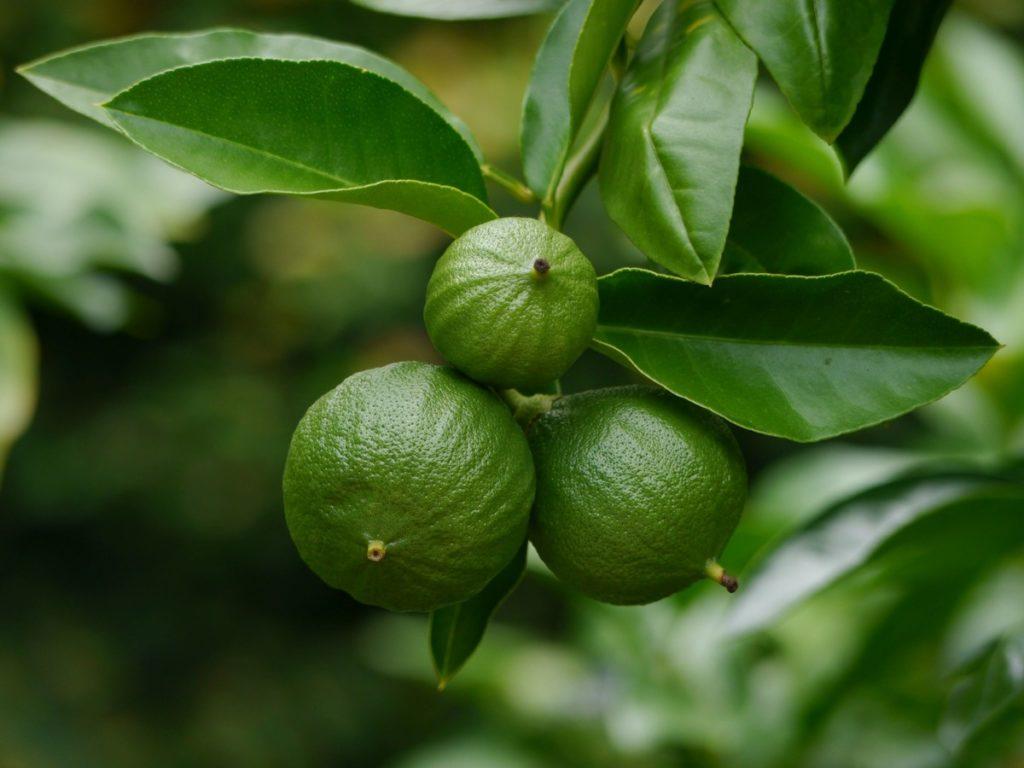 Эфирные масла бергамота