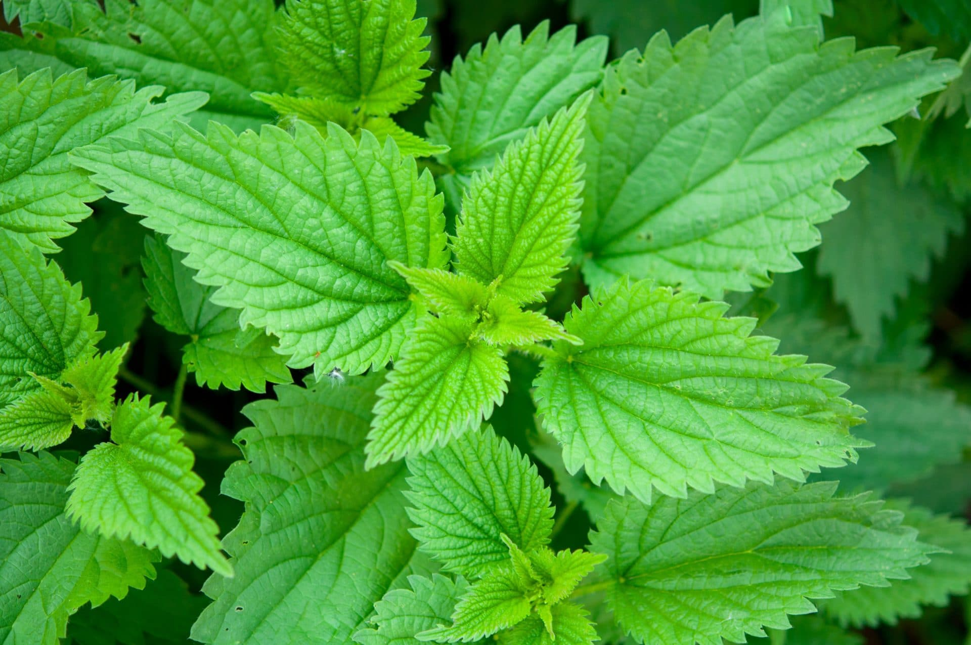 Крапива для потенции: настойка и другие рецепты из листья и семян