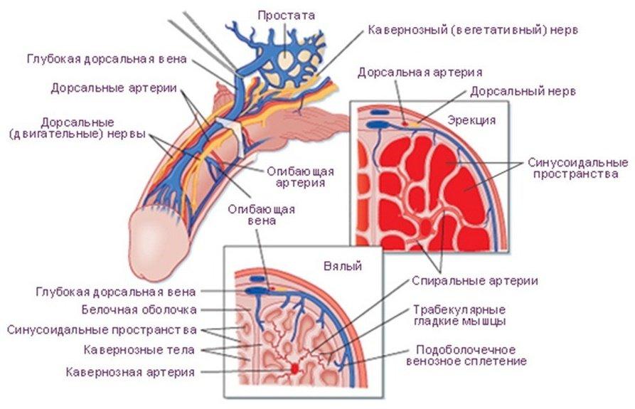 Кровеносная система полового члена