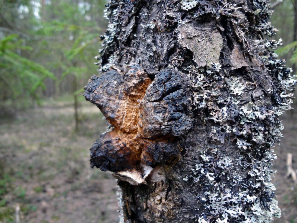 Полезные свойства гриба чаги