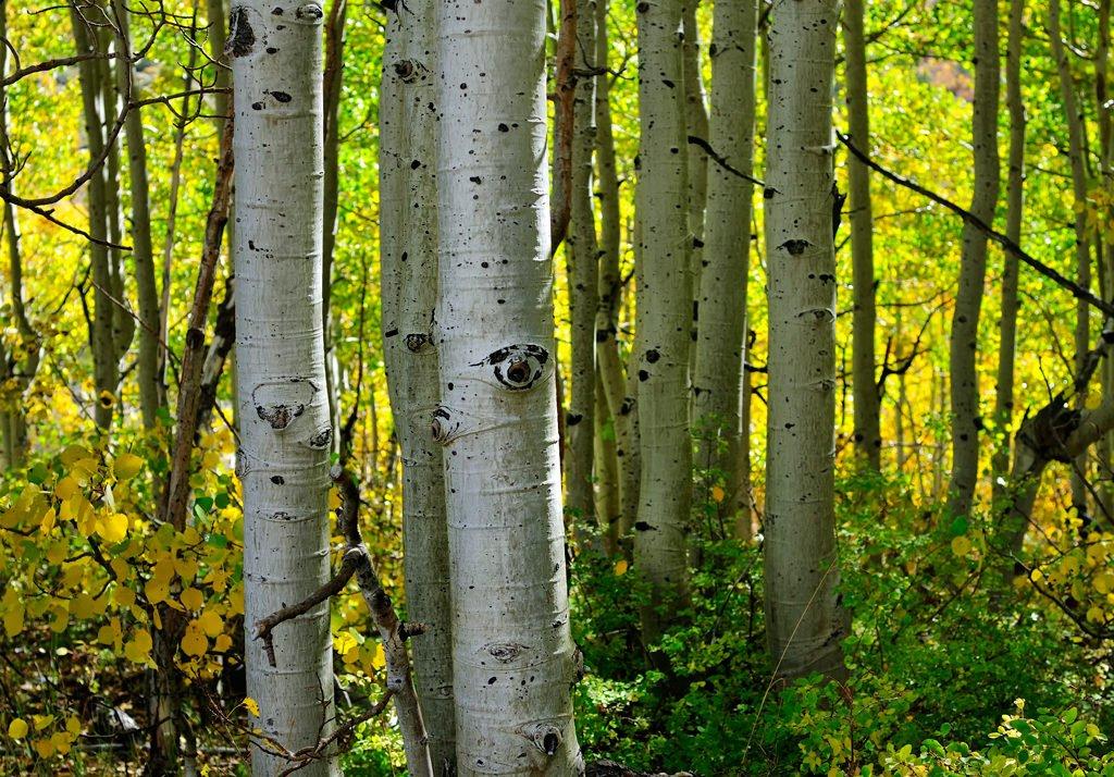 Свойства коры осины при аденоме простаты